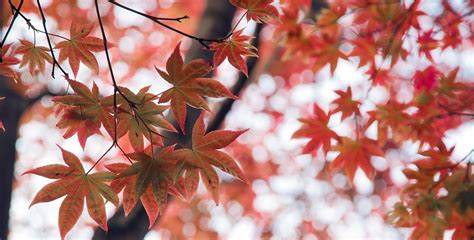 maple tree symbolism maple symbolism information and planting instructions