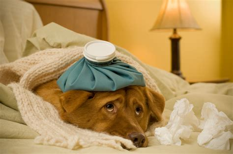 sick dogs your sick what you can do at home to help your