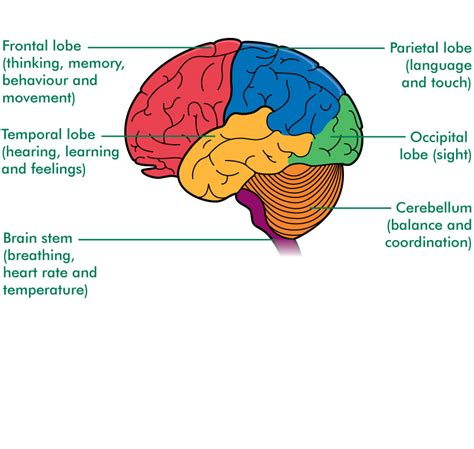 brain functions diagram astrocytic tumours cancer information macmillan cancer