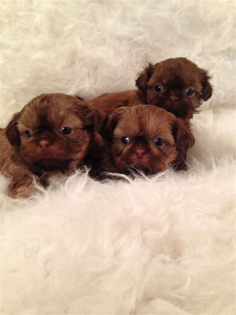 imperial puppies kc shih tzu imperial puppies lancashire pets4homes
