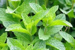 what is peppermint teatulia