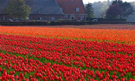 tulip field holland a holiday amidst the tulip fields trip to holland