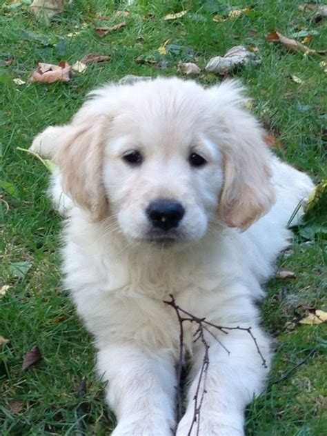black golden retriever puppies for sale white golden retriever puppies for sale breeds picture
