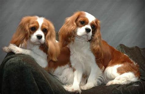king charles cavalier puppies nc spiceolife cavalier king charles spaniels cavalier king charles spaniel breeder