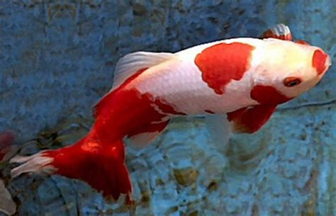 Jenis Pakan Ikan Koki ikan koki wakin hewan id