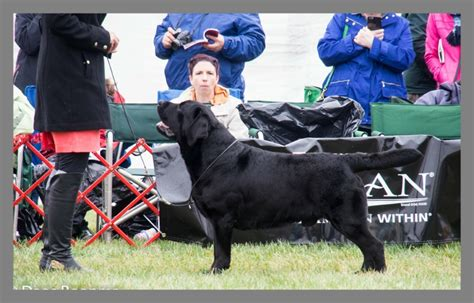 lab puppies for sale in maryland westminster labrador winner 2014 breeds picture