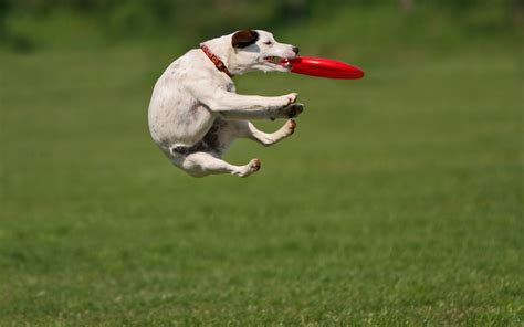 play with dogs catching a frisbee hd animals wallpapers