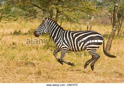 Ac Zebra zebra running