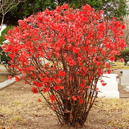 quince bush flowering quince for sale fast growing trees