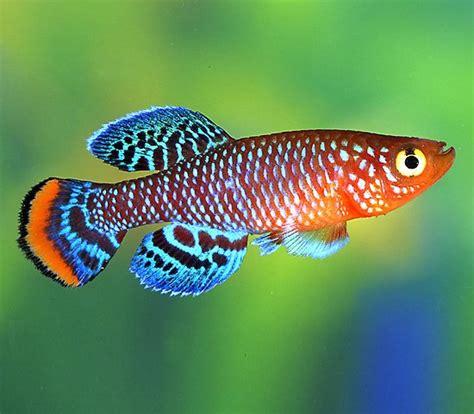 Makanan Ikan Hias Rainbow los killis foro de peces y acuarios de acuario adictos