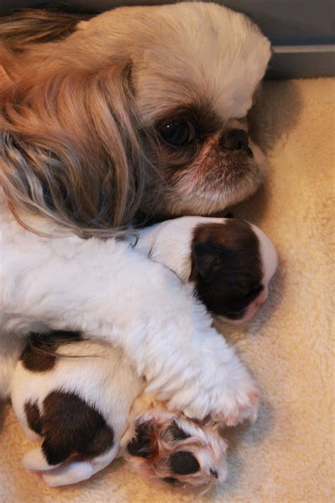 where are shih tzu dogs from shih tzu puppies in northern new jersey