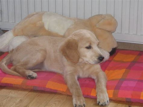 golden retriever puppies for sale scotland golden retriever puppies for sale adoption from ayr scotland strathclyde adpost