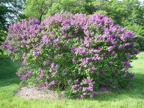 serenelle fiori lilak pospolity fioletowy syringa vulgaris