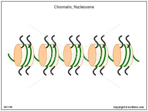 chromatin diagram chromatin nucleosome illustrations