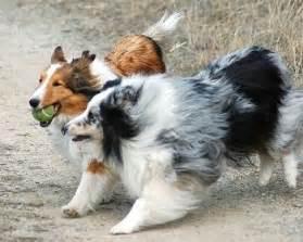 Mini sheltie blue merle shetland sheepdog training sheltie puppies