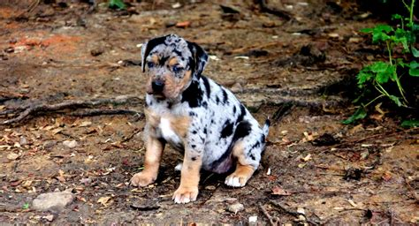 this puppy catahoula world is the catahoula leopard right for you