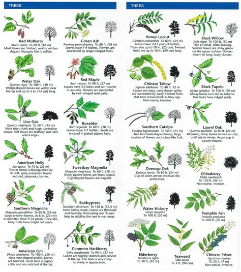 tree or chart printable tree leaf identification chart theleaf co