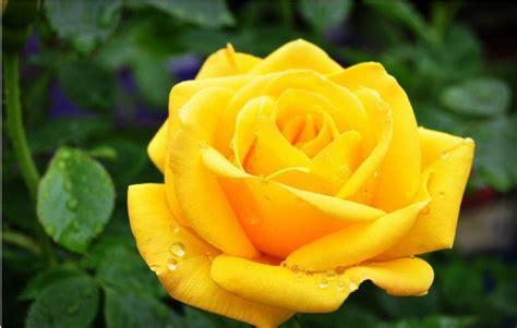 imagenes de rosas hermosas amarillas im 225 genes de rosas amarillas im 225 genes