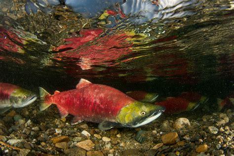 sockeye salmon underwater images
