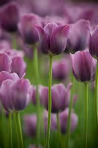 tulips a pretty shade landscape ideas pinterest