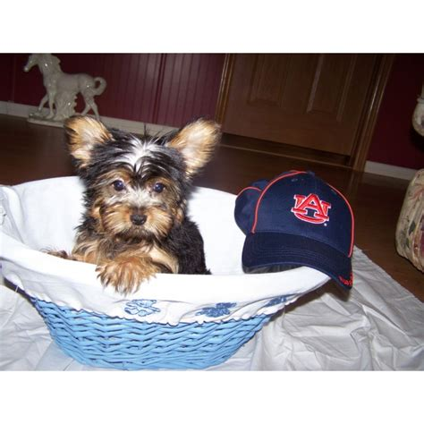 yorkie puppies in alabama puppies for sale terrier yorkie