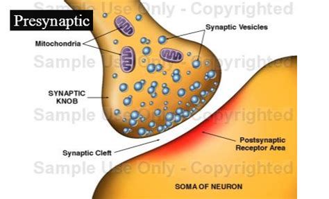 a and easy way to remember synaptic knob in biology