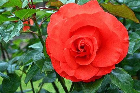 Tuspin Mawar 2 Warna arti bunga mawar berdasarkan warna dan kuntum bunga