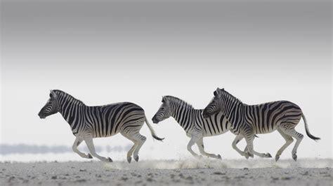 apple zebra wallpaper hd zebra wallpapers pictures images
