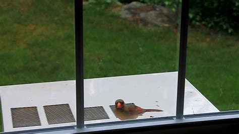 cardinal attacking window youtube
