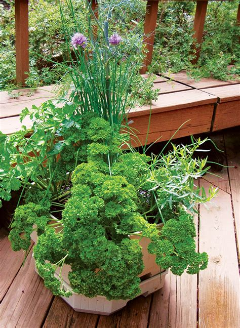 container garden herbs growing herbs in pots or containers plantinfo