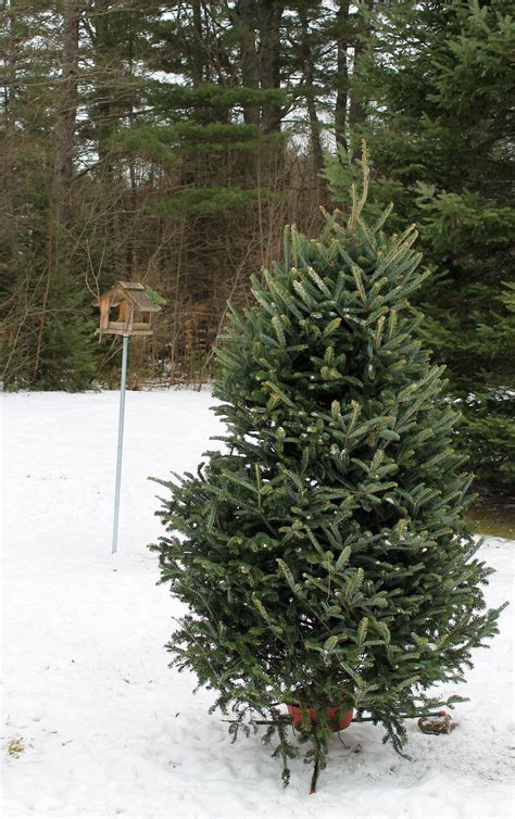things to do with your christmas tree archives mynature apps