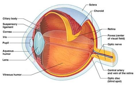 the eye is the l of the parts of the eye and their functions iytmed com
