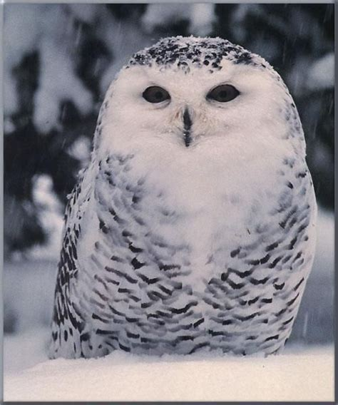 snowy owl tattoo snowy owl owl tattoos
