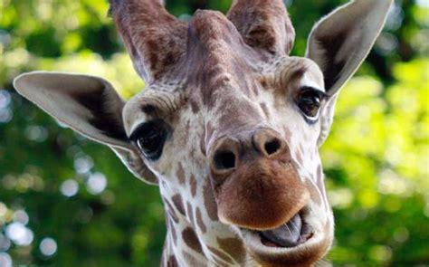 jirafas imagenes graciosas 191 c 243 mo meter una jirafa en una congeladora las preguntas