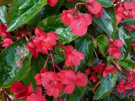 file begonia quot dragon wing quot 2 jpg wikimedia commons