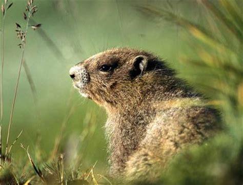 groundhog day america woodchuck groundhog american rodent