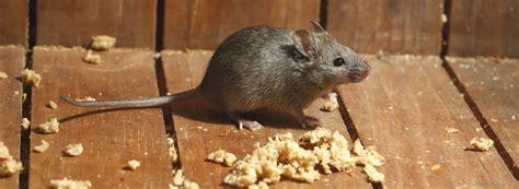 Rat Dans Le Plafond by Se M 233 Fier Des Maladies Transmises Par Les Rongeurs