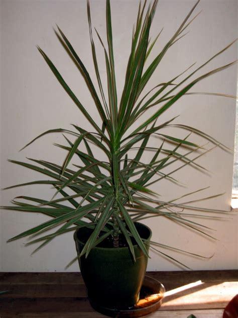 Houseplants dracaena