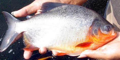 Makanan Untuk Bibit Ikan Bawal 117 manfaat dan khasiat ikan bawal untuk kesehatan khasiat