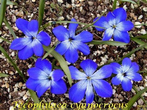 blue flower bulbs pacific bulb society favorite blue flowered bulbs two