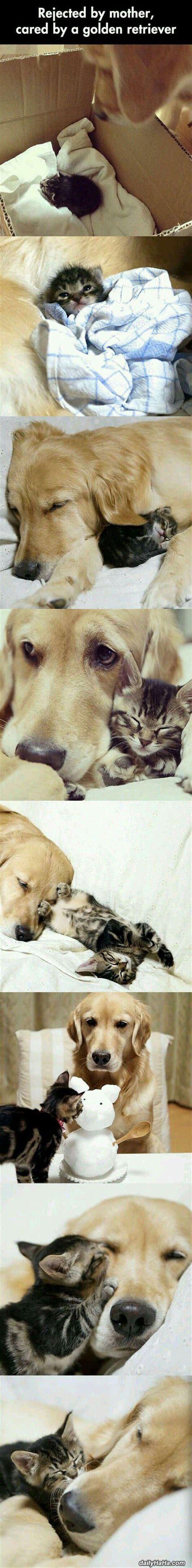 raising golden retrievers golden retriever raising kitten