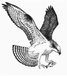 osprey with white perch drawing by edith thompson