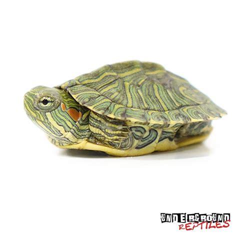 baby rio grande red ear slider turtles for sale underground reptiles