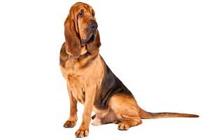 belgian sheepdog pictures معرفی نژادهای سگ دامپزشک