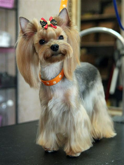 best brush for yorkie hair yorkie hair style options hairstylegalleries