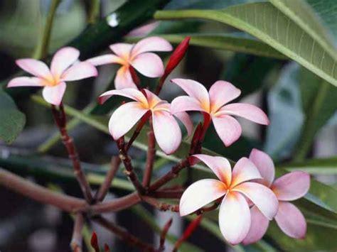 gelsomini in vaso gelsomino guida completa alla coltivazione e cura