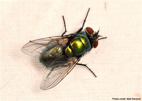 blow flies in house learn more about your arthropods rob dunn lab