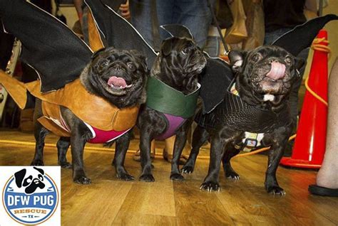how many pugs are there in the world 25 b 228 sta pug rescue id 233 erna p 229 mopsar mopsvalpar och mops