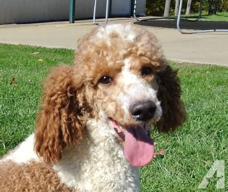 standard poodle rescue indiana standard poodle 16 months health tested parti