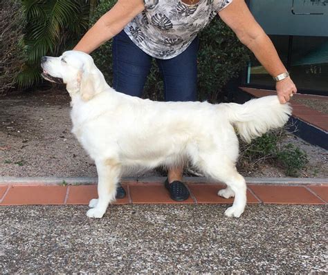 golden retriever club qld golden retriever puppies breeders qld dogs in our photo